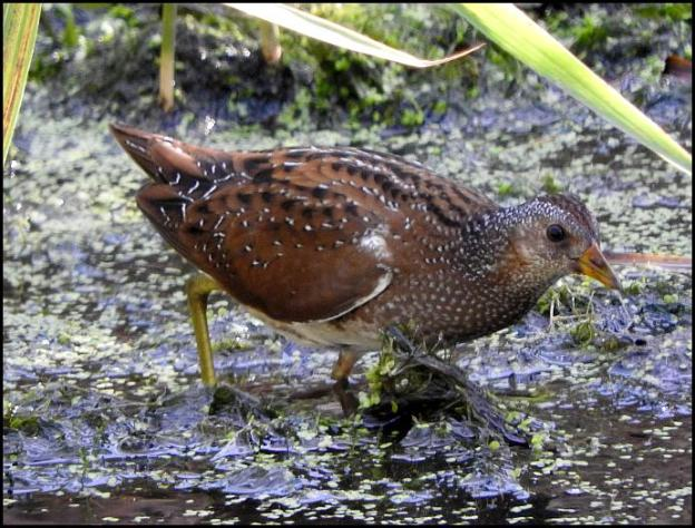 spotted-crake-230916
