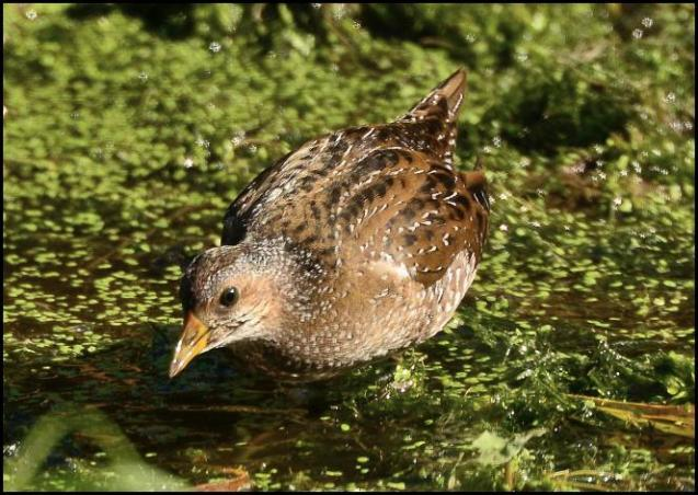 spotted-crake-3-230916