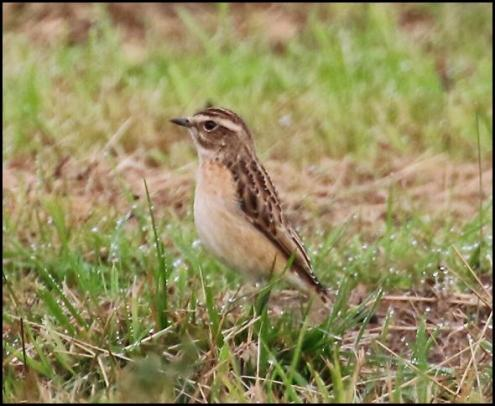 whinchat-060916