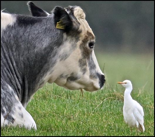 Cattle Egret 1 301016.jpg