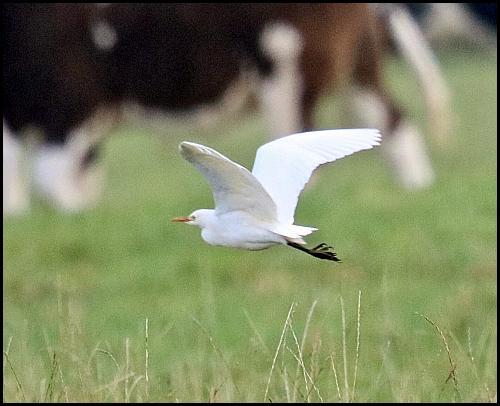 cattle-egret-271016