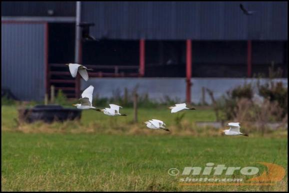 cattle-egrets-2-281016