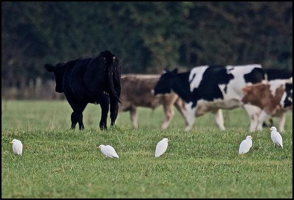 cattle-egrets-271016