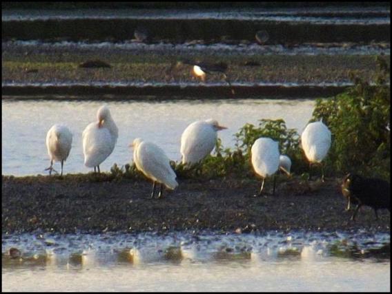 cattle-egrets-281016