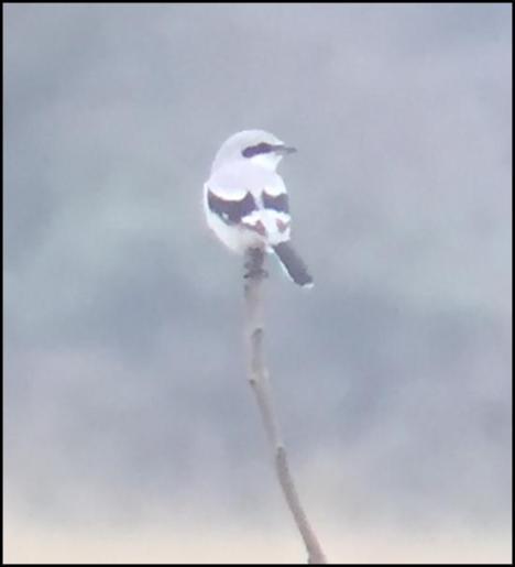 great-grey-shrike-251016