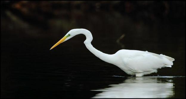 great-white-egret-1-211016