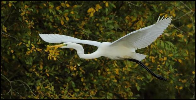 great-white-egret-2-211016