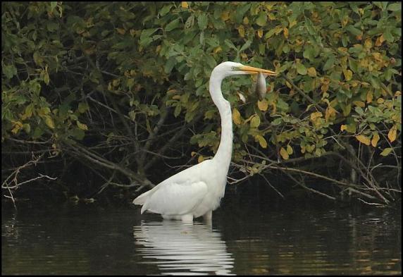 great-white-egret-201016