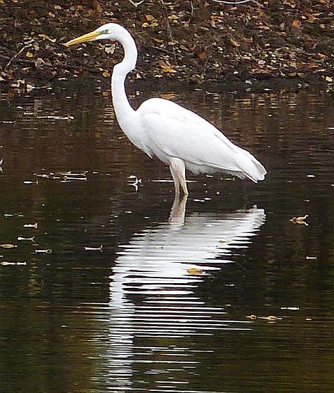 great-white-egret-3-211016