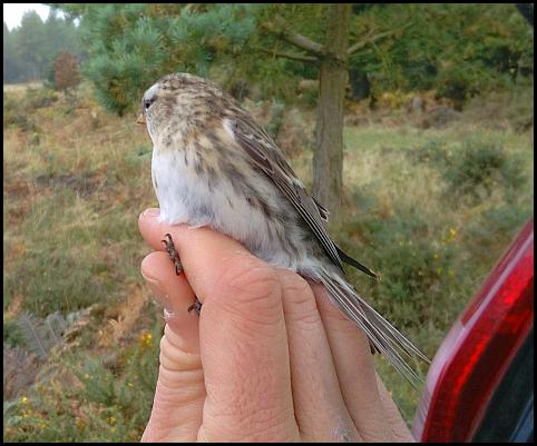 mealy-redpoll-221016