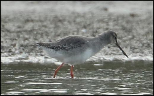 spotted-redshank-131016