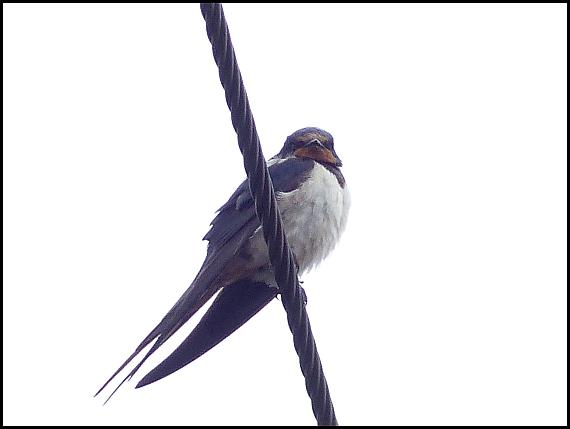 swallow-251016