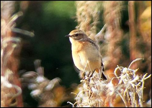 whinchat-021016