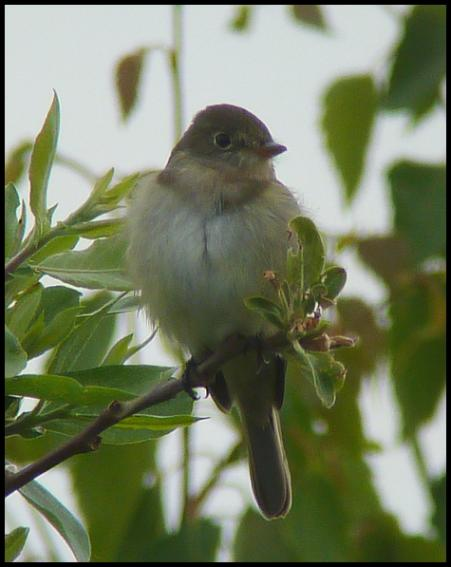 ak-alder-flycatcher