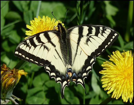 ak-canadian-tiger-swallowtail
