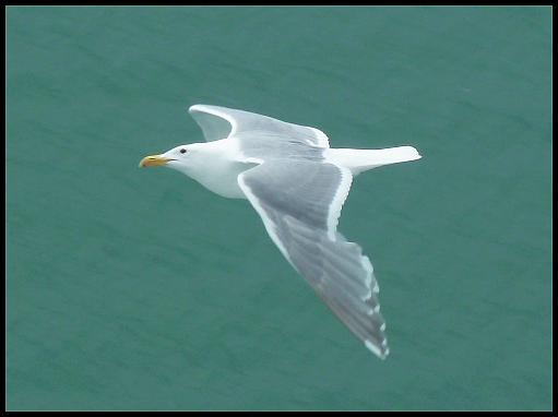 ak-glaucous-winged-gull