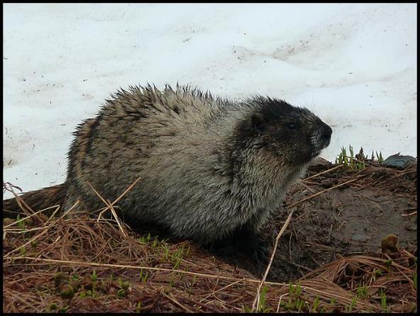 ak-hoary-marmot