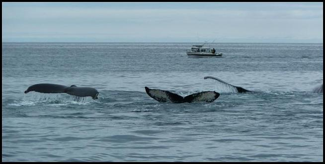 ak-humpback-whales-2