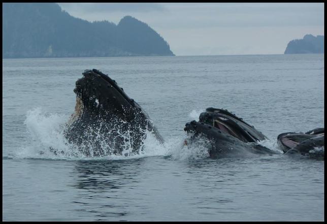 ak-humpback-whales