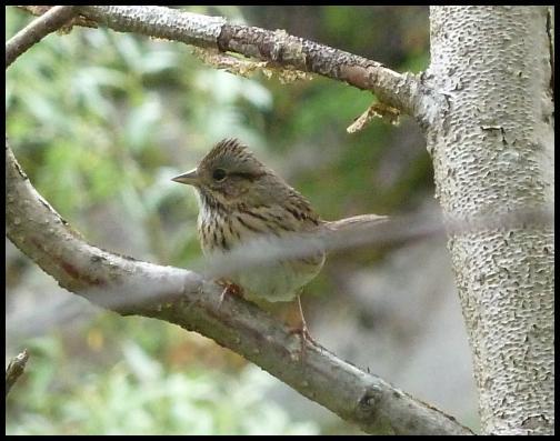 ak-lincolns-sparrow