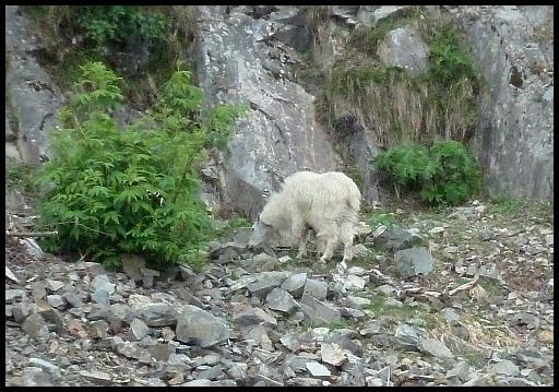 ak-mountain-goat
