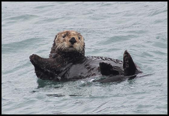 ak-sea-otter