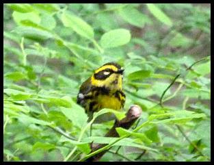 ak-townsends-warbler