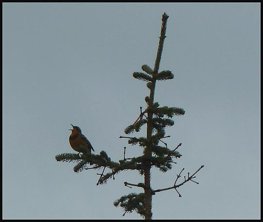 ak-varied-thrush