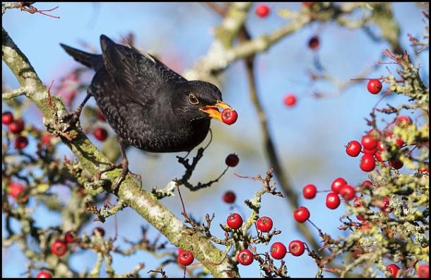 blackbird-191116