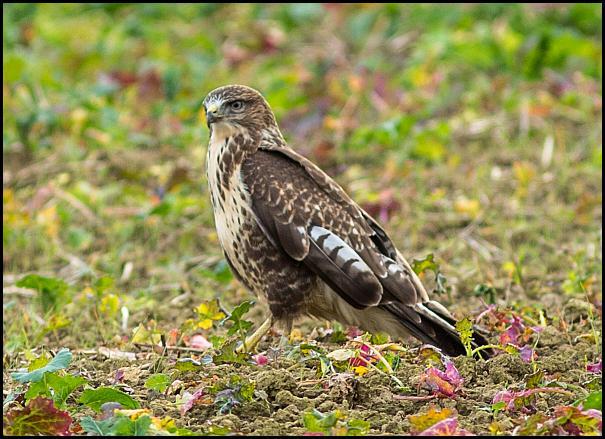 buzzard-031116