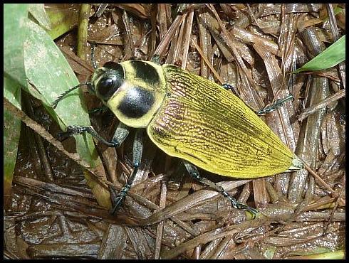 bz-beetle