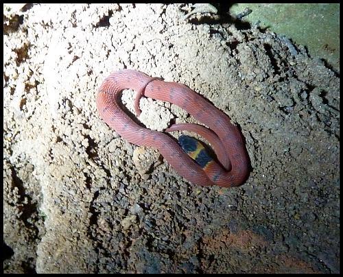 bz-coral-snake