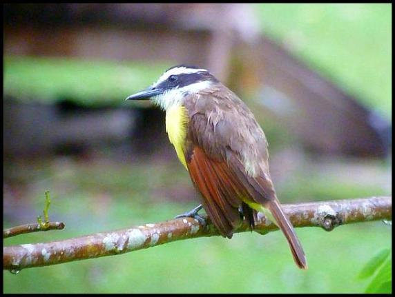bz-great-kiskadee