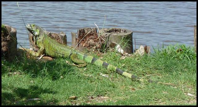 bz-green-iguana