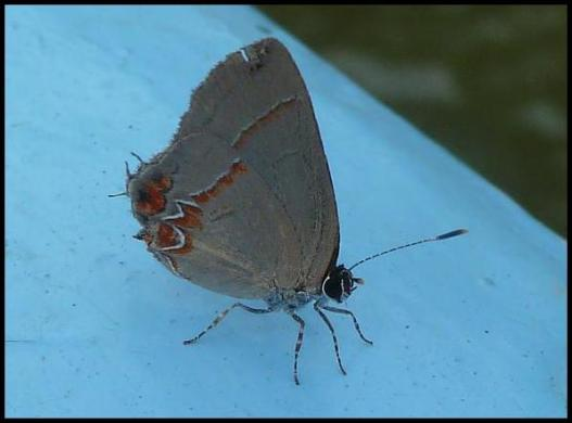 bz-heraldica-hairstreak
