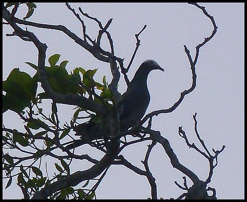 bz-wc-pigeon