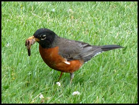 can-american-robin