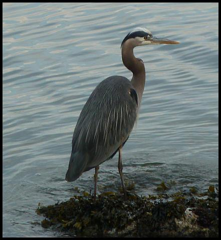 can-great-blue-heron