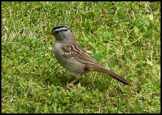 can-white-crowned-sparrow