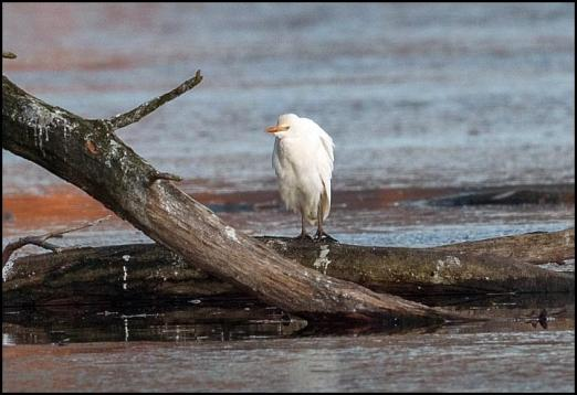 cattle-egret-301116