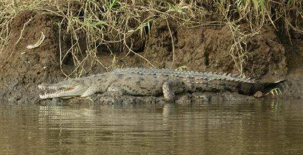 cr-american-crocodile-250210