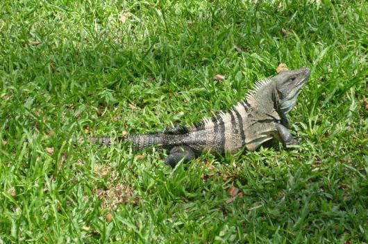 cr-black-iguana-240210