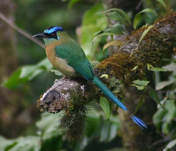 cr-blue-crowned-motmot-210210