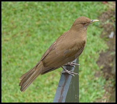 cr-clay-colored-robin