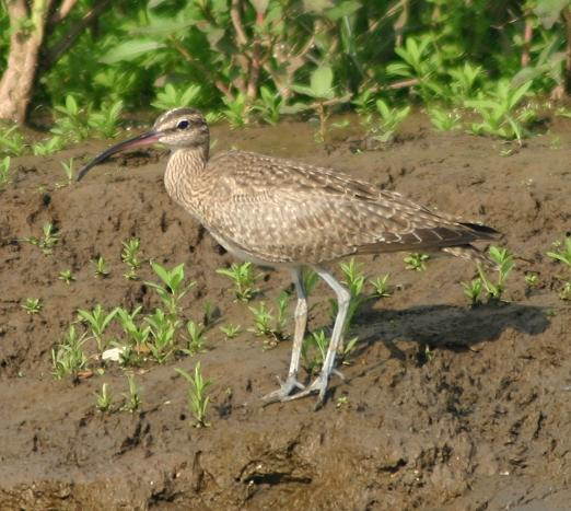 cr-hudsonian-whimbrel-250210