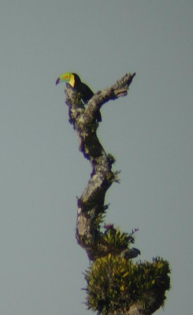cr-keel-billed-toucan-220210