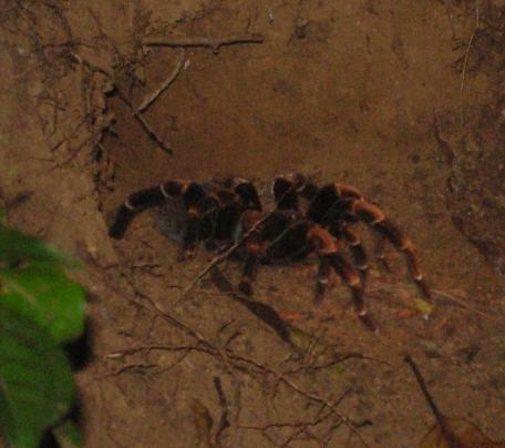 cr-orange-kneed-tarantula-220210