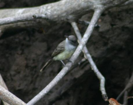 cr-panama-flycatcher-250210-record-shot