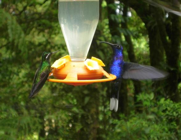 cr-purple-throated-mountain-gem-violet-sabrewing-200210