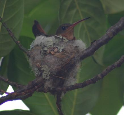 cr-rufous-tailed-hummingbird-on-the-nest-260210